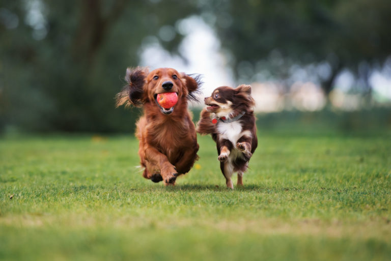 Two dogs run side by side while the small one looks to grab an apple from the larger dog.